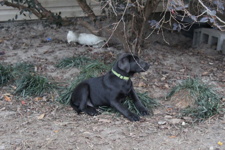 Labrador Retriever Puppies For Sale Soperton Ga 257112