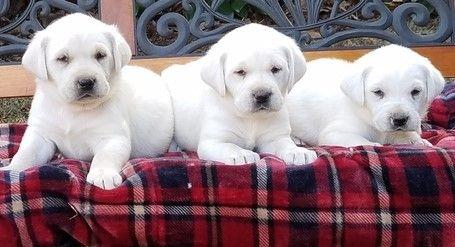 Labrador Retriever Puppies For Sale | Little Rock, AR #268176