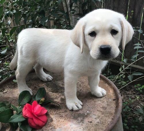 Yellow Labrador Retriever Puppies For Sale   Las Vegas, NV #271498