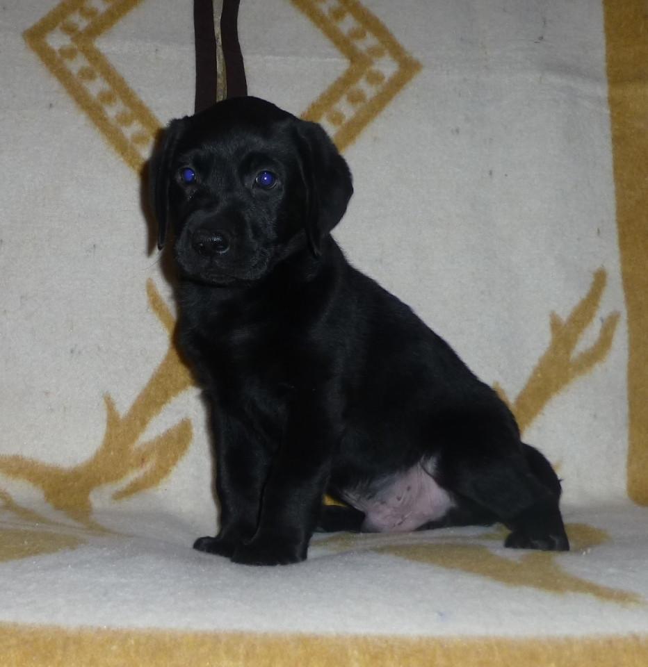 Black Labrador Retriever Puppies For Sale   Gardnerville, NV #273328