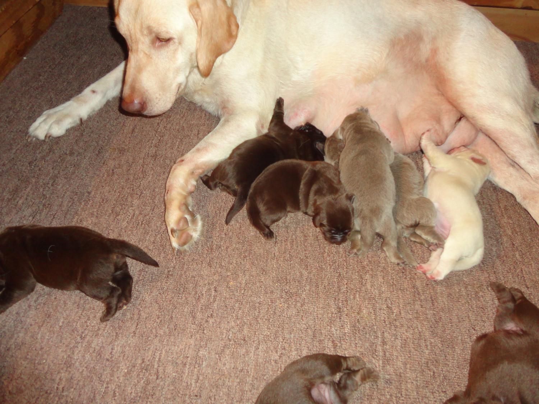 Labrador Retriever Puppies; Labrador Retriever Puppies ...