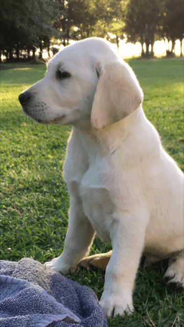 Labrador Retrievers for Sale in Houston | Dogs on Oodle ...
