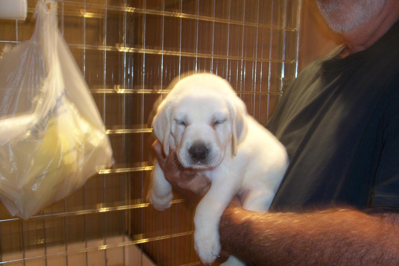 Labrador Retriever Puppies For Sale Polk City Fl 278742