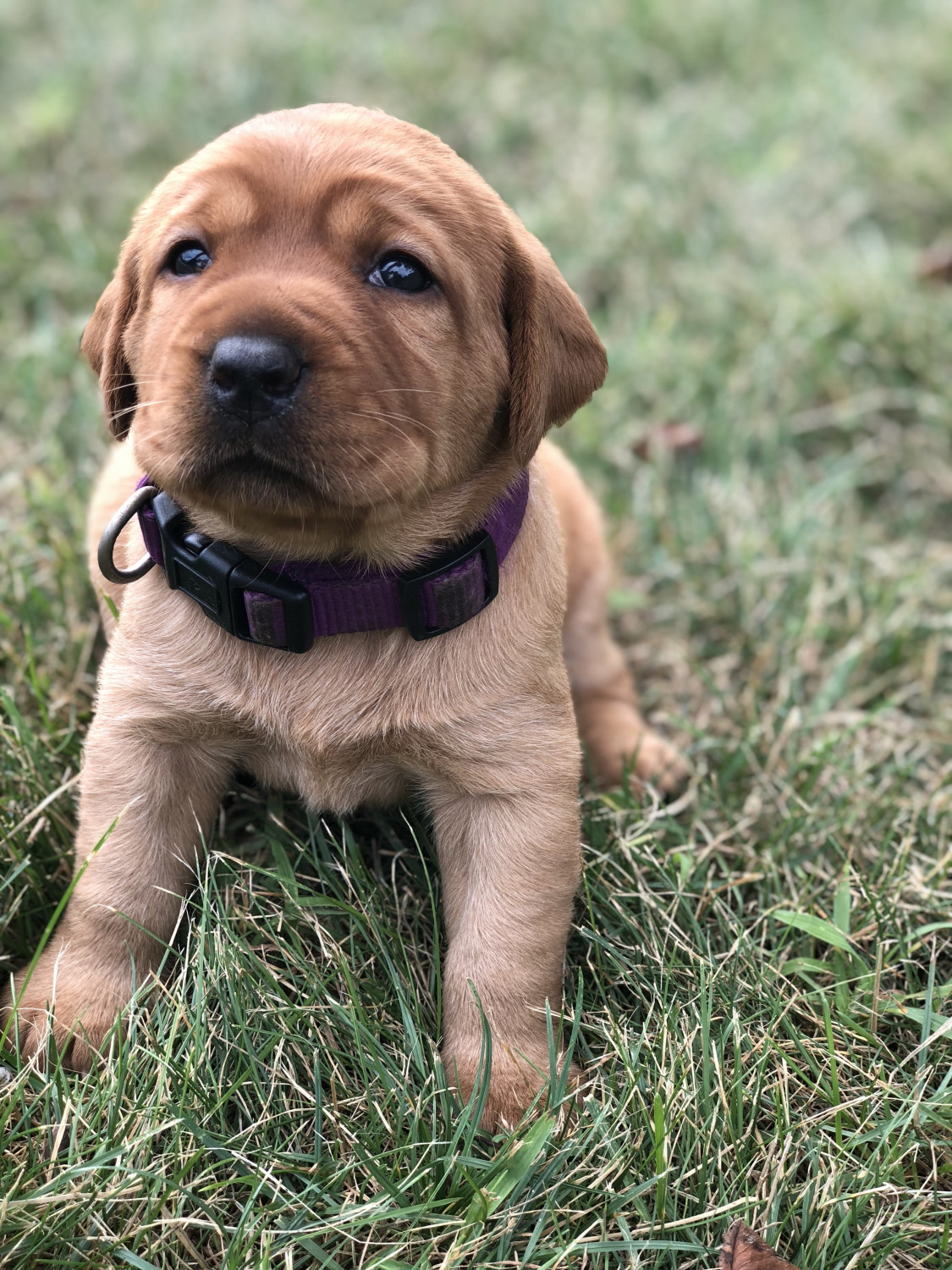 Buy Labrador Puppies For Sale In Poland