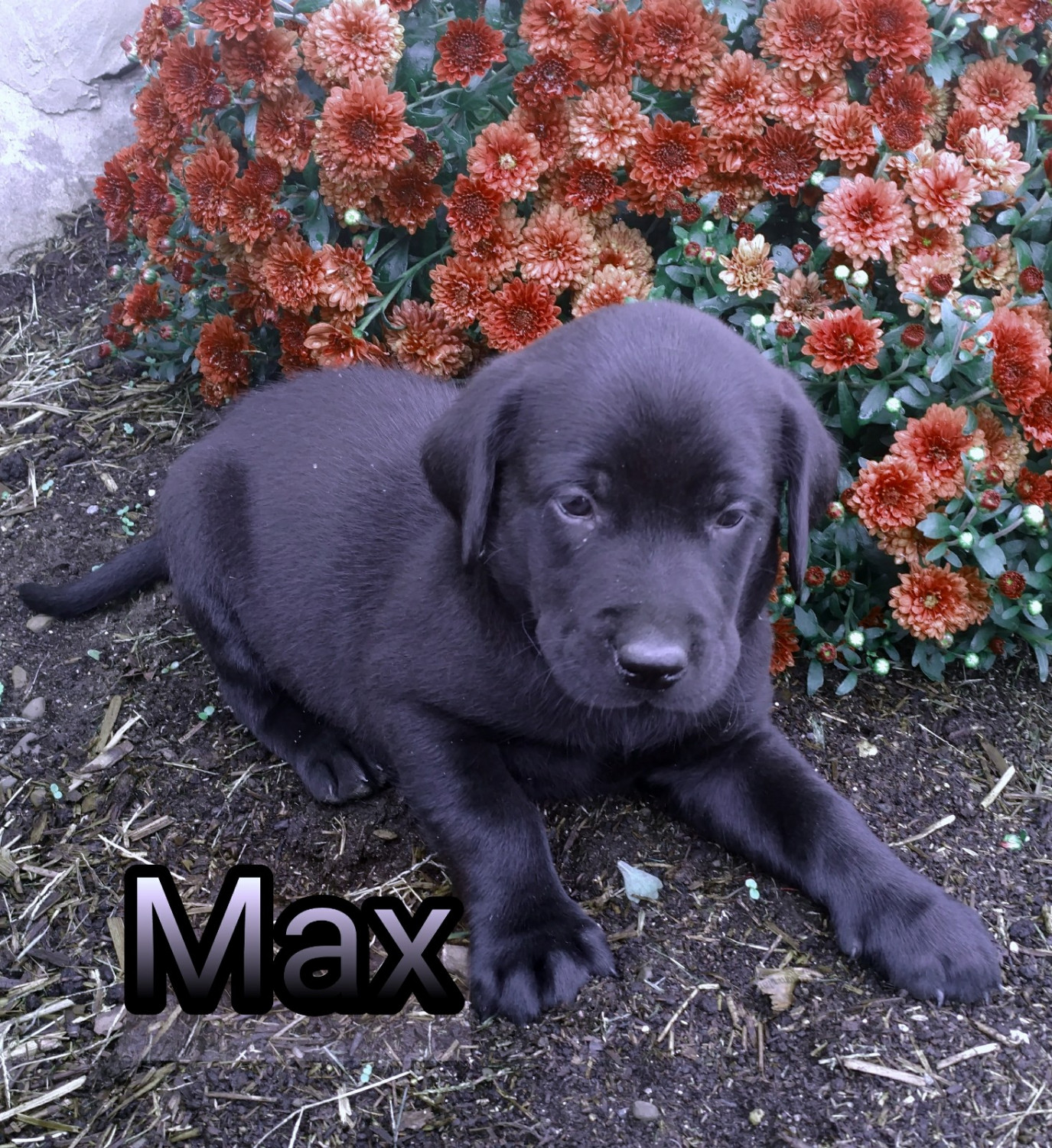 Labrador Retriever Puppies For Sale New York 38 Conquest Ny 284454