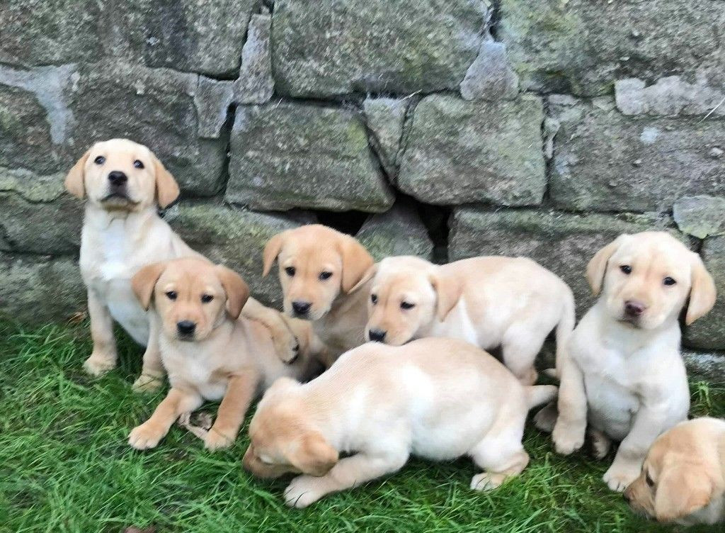 Labrador Retriever Puppies for Sale from Houston, Texas ...
