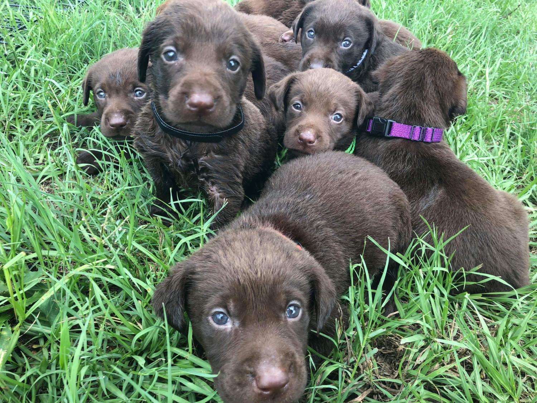Labrador Retriever Puppies For Sale Montezuma Ga 287329