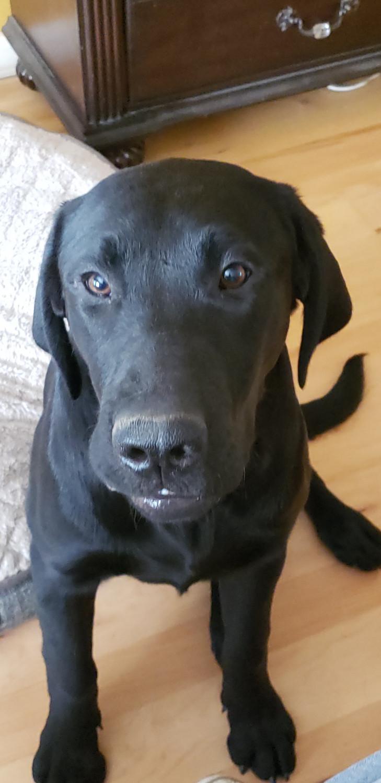 Labrador Retriever Puppies For Sale   Meridian, ID #299766