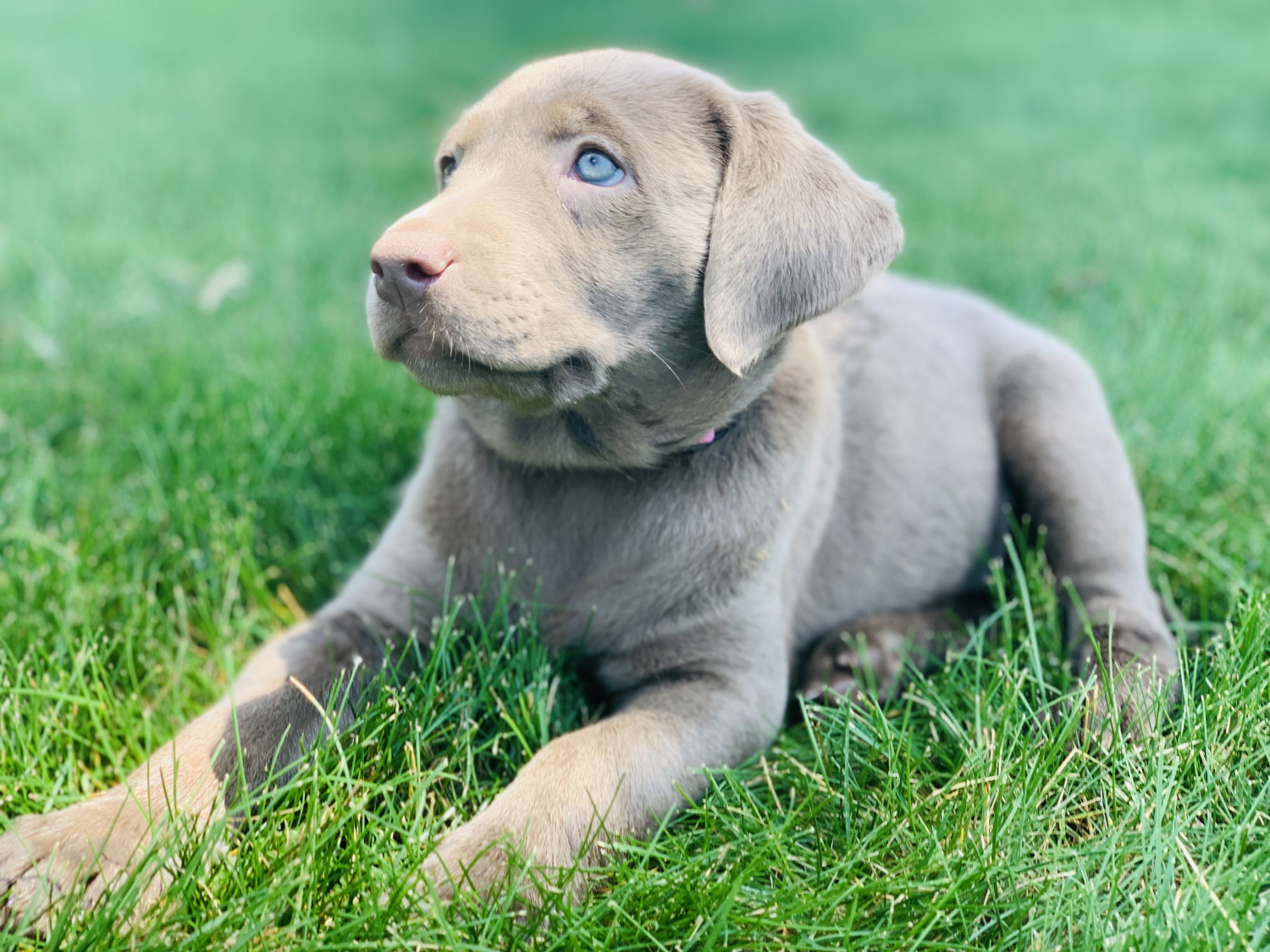 Buy Labrador Puppies For Sale In Northern Territory Australia