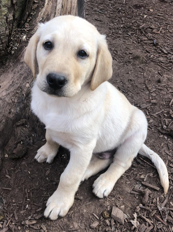 Yellow Labrador Retriever Puppies For Sale In Iowa USA