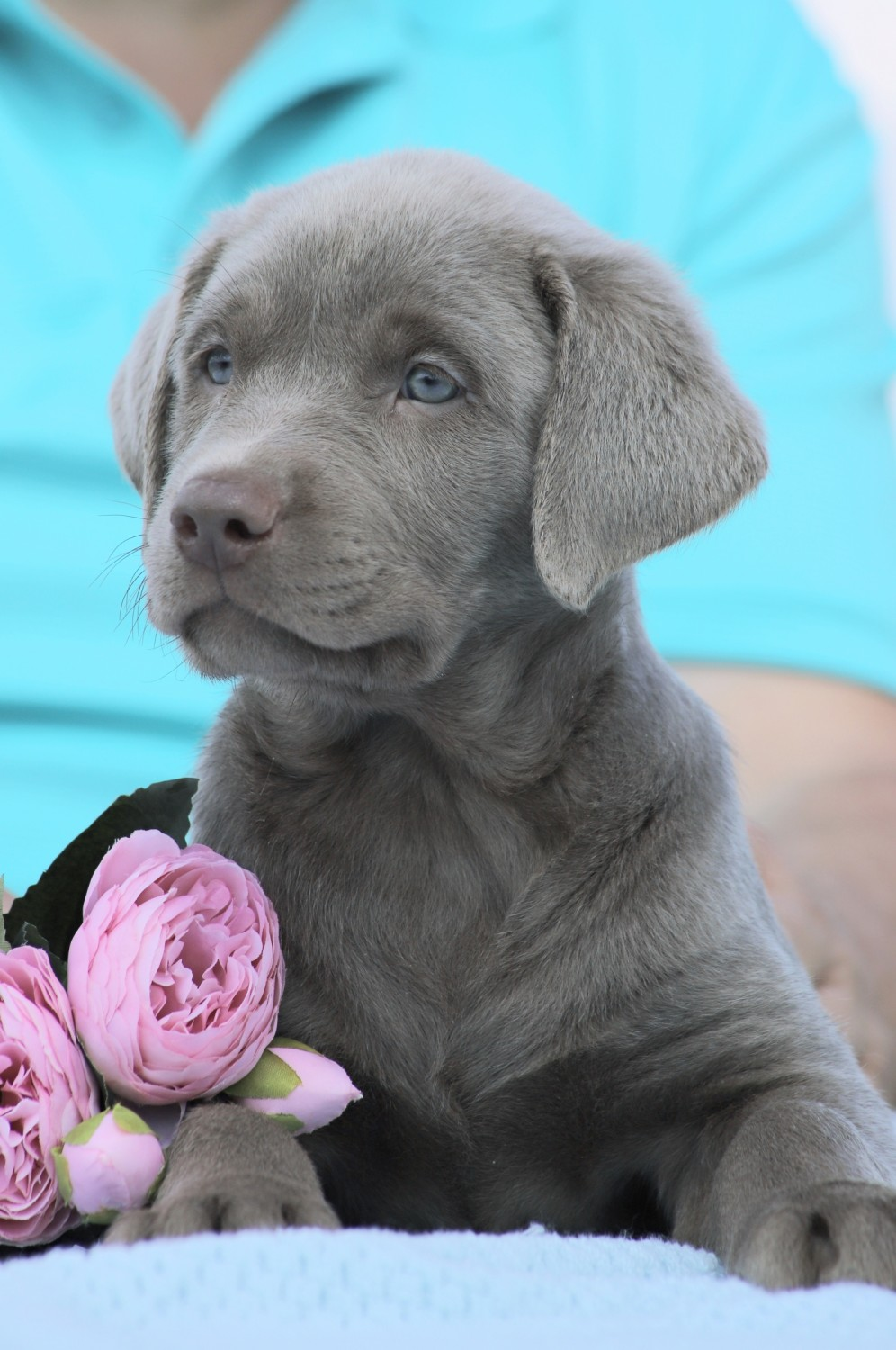 Best Quality Labrador Puppy For Sale In Singapore