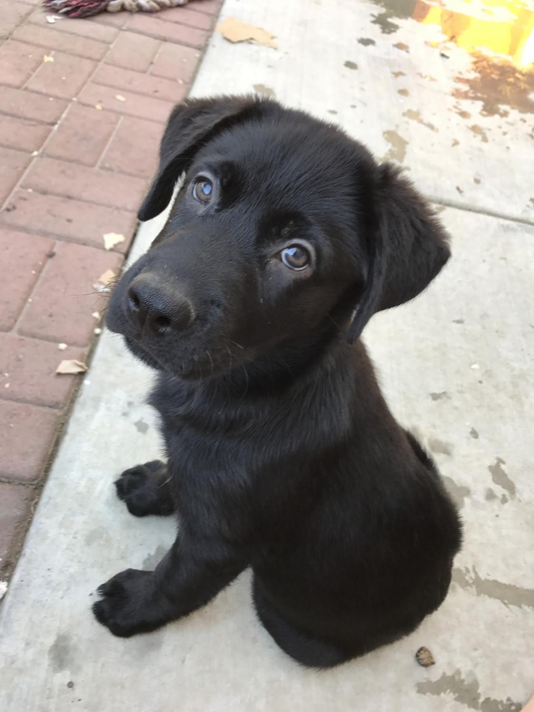 Labrador Husky Puppies For Sale Van Nuys Ca 213562