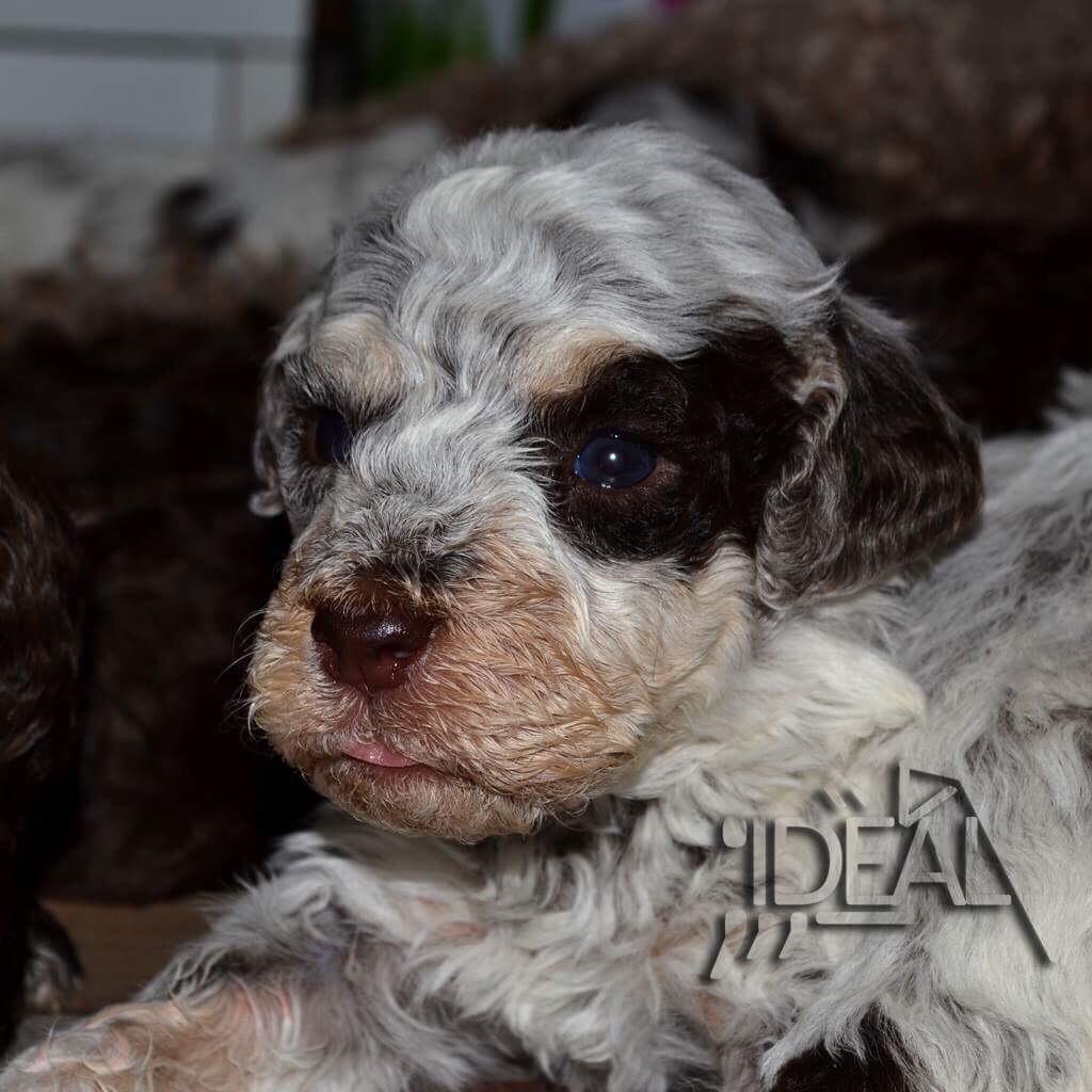 Lagotto Truffle Dogs: Lagotto Romagnolo Puppies For Sale