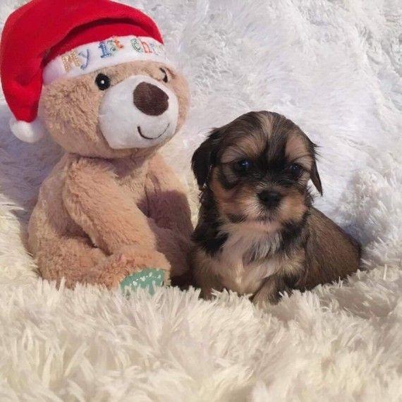 Lhasa Apso Puppies For Sale Nashville Tn 174372