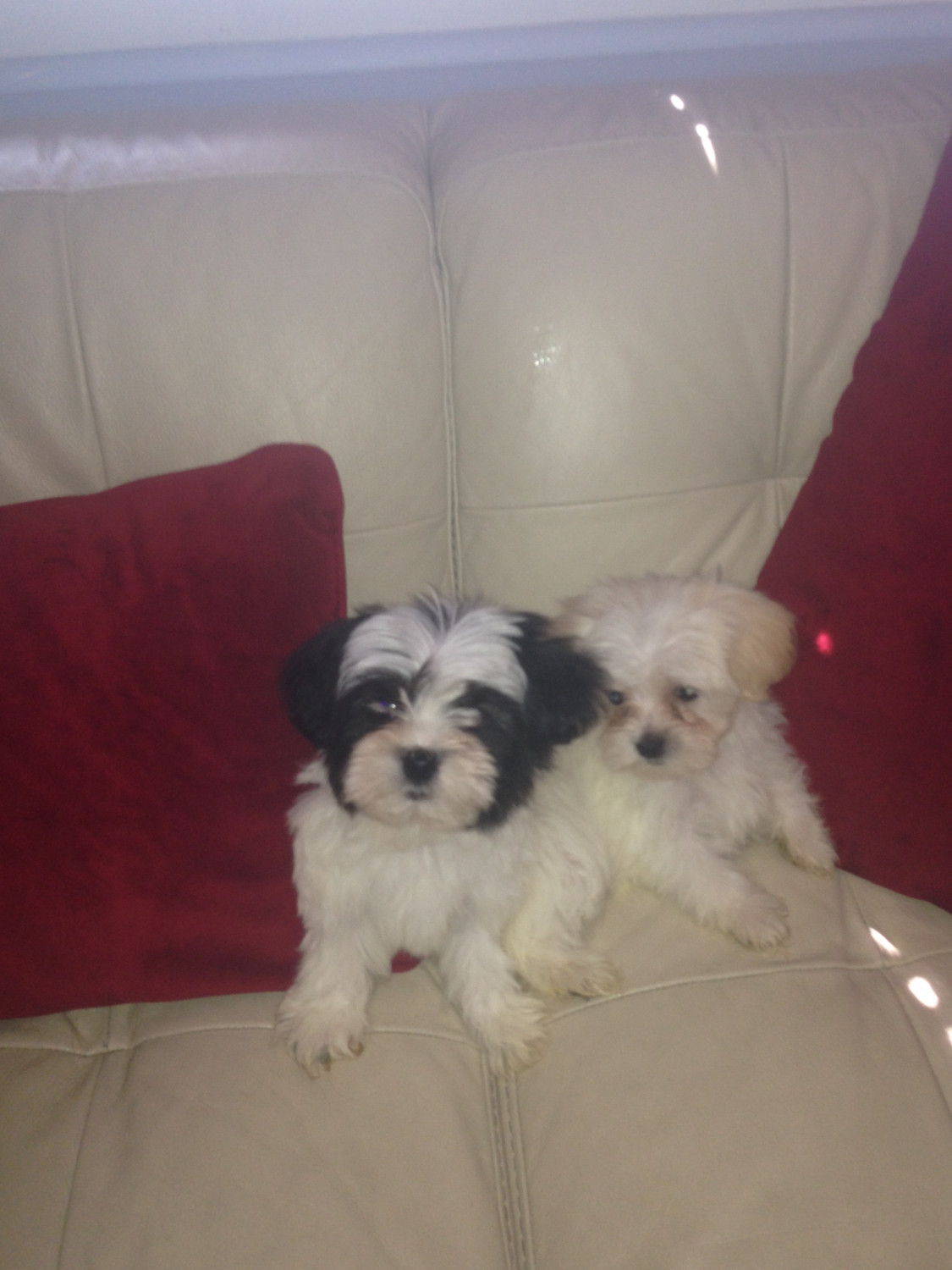 Lhasapoo puppies for sale columbus oh 272927 petzlover for Dog kennels for sale in ohio