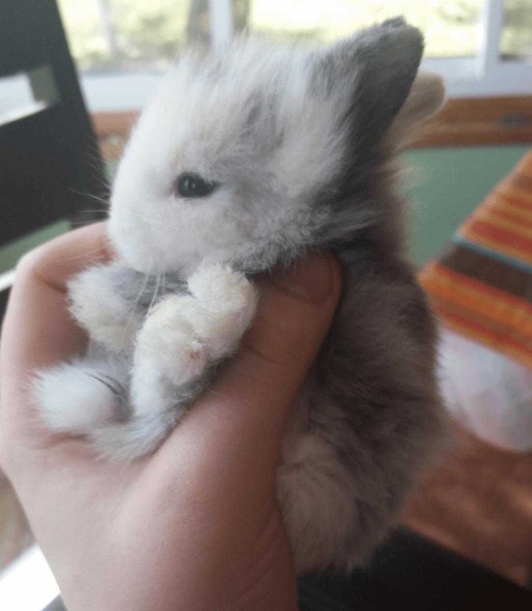 Pictures of baby lionhead bunnies