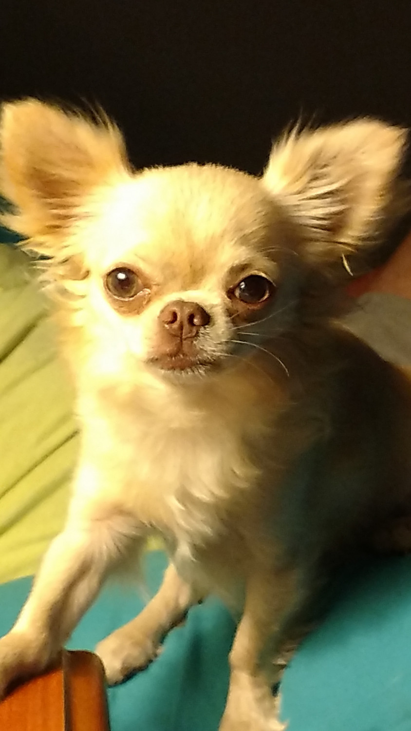 Long Haired Chihuahua Puppies For Sale | Live Oak, FL #264485