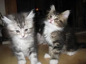 Maine Coon Cats For Sale In Sc