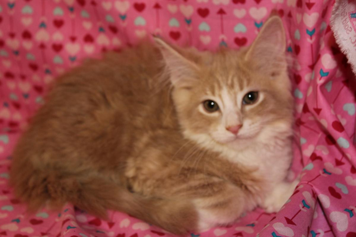 Maine Coon Cats For Sale Syracuse Ny 124622 Petzlover