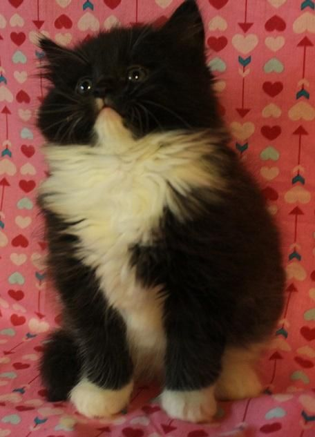 Maine Coon Cats For Sale Syracuse Ny 132595 Petzlover