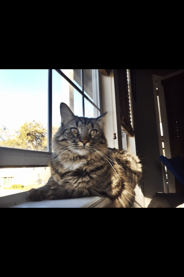 Maine Coon Cats For Sale | Tallahassee, FL #161821