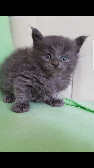 Maine Coon Cats For Sale Springfield Il 198276