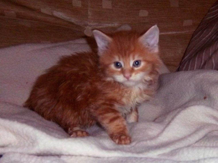 Maine Coon Cats For Sale In Michigan