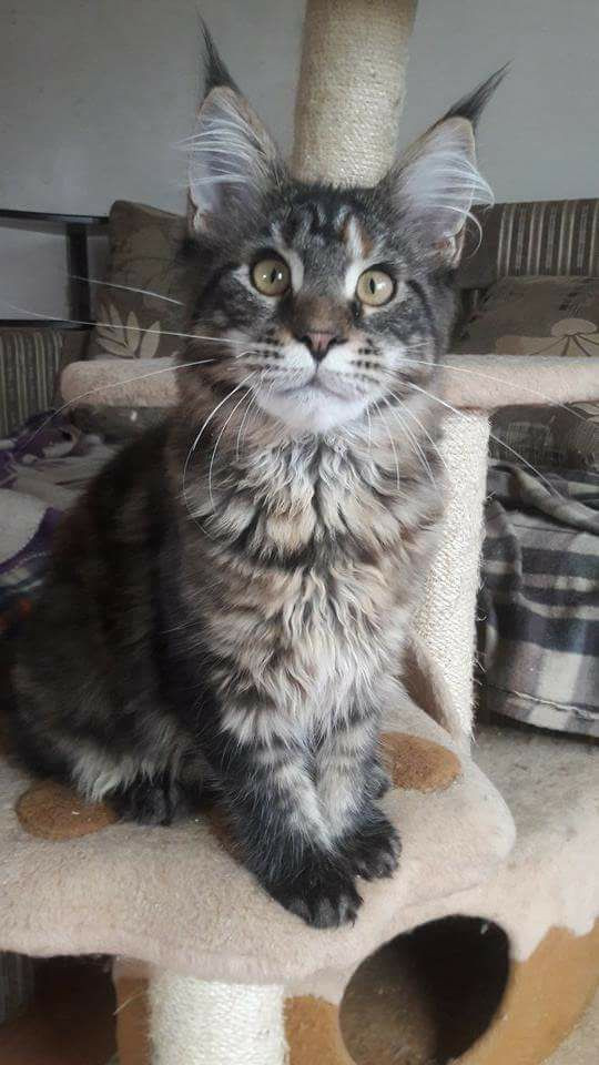 South Carolina For Sale Maine Coon Cats