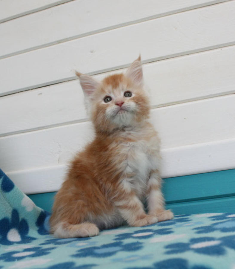 Maine Coon Cats For Sale | Pittsburgh, PA #220022