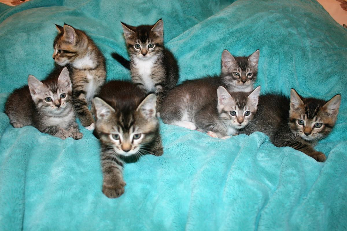 Maine Coon Cats For Sa...