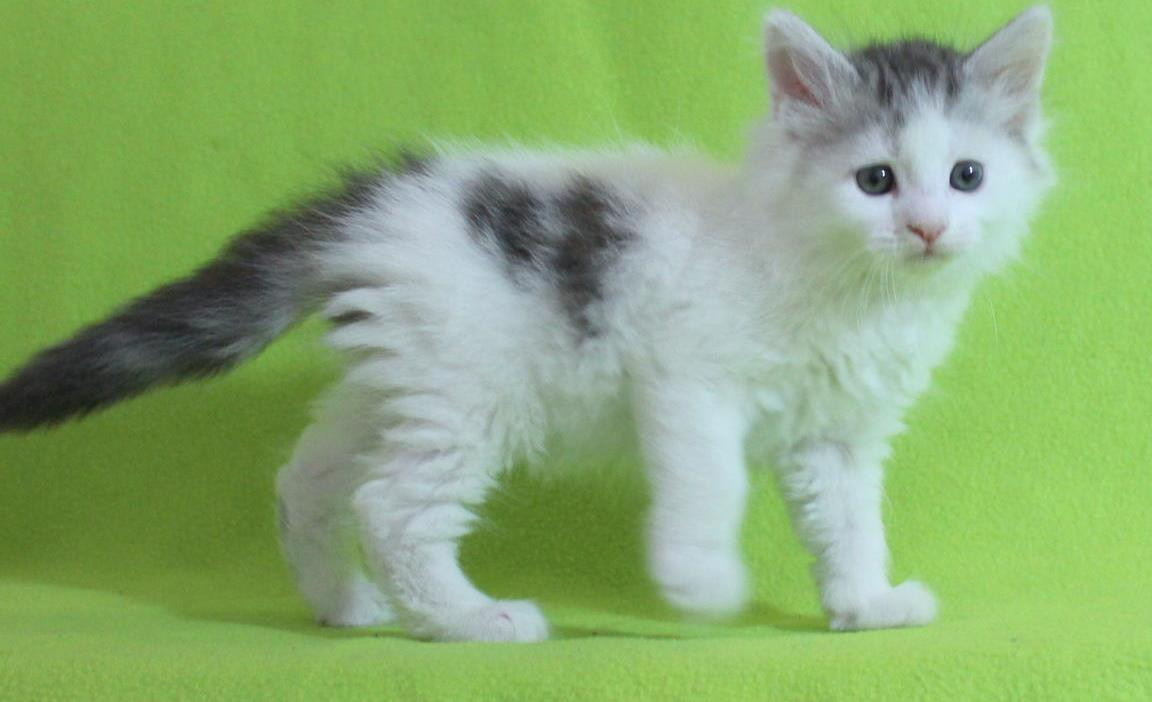 Maine Coon Cats For Sale | Manhattan, NY #262825 | Petzlover