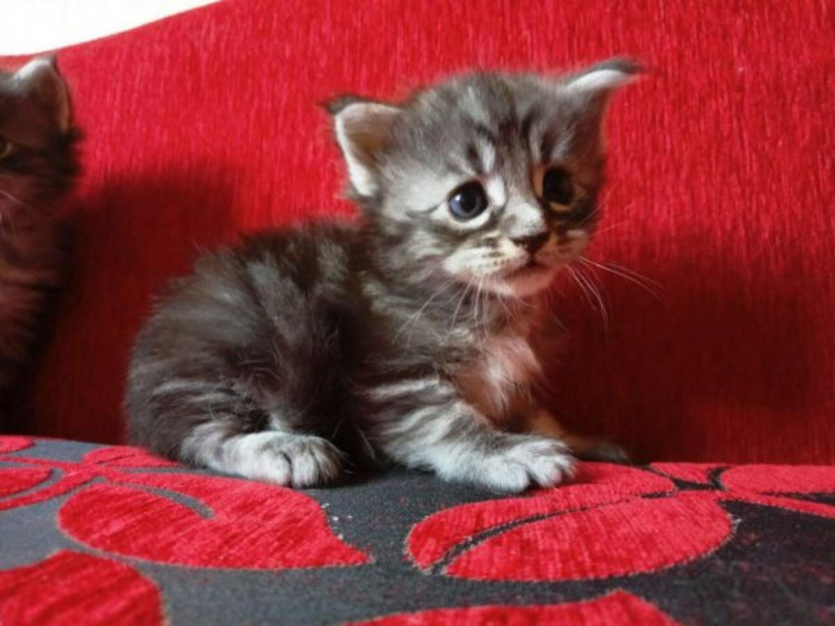 Maine Coon Cats For Sale | Portland, OR #262837 | Petzlover