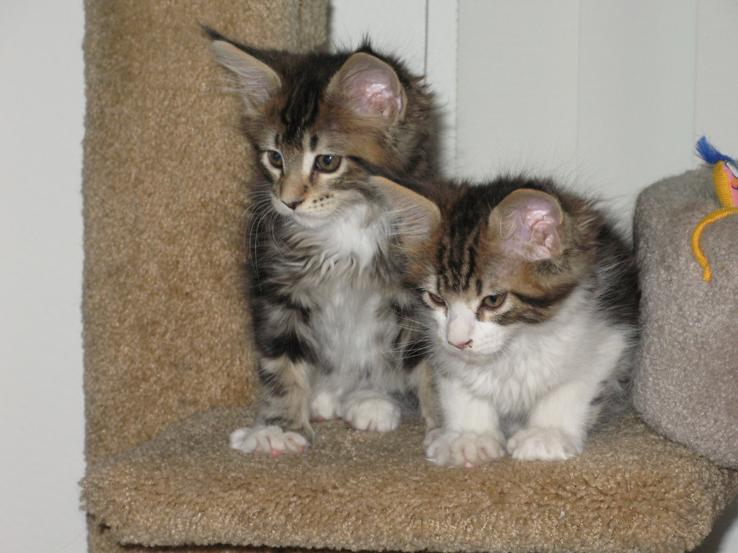 Maine Coon Cats For Sale South Carolina 101 Sc 269511