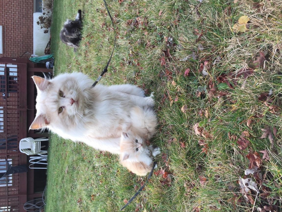 Maine Coon Cats For Sale | San Francisco, CA #269938