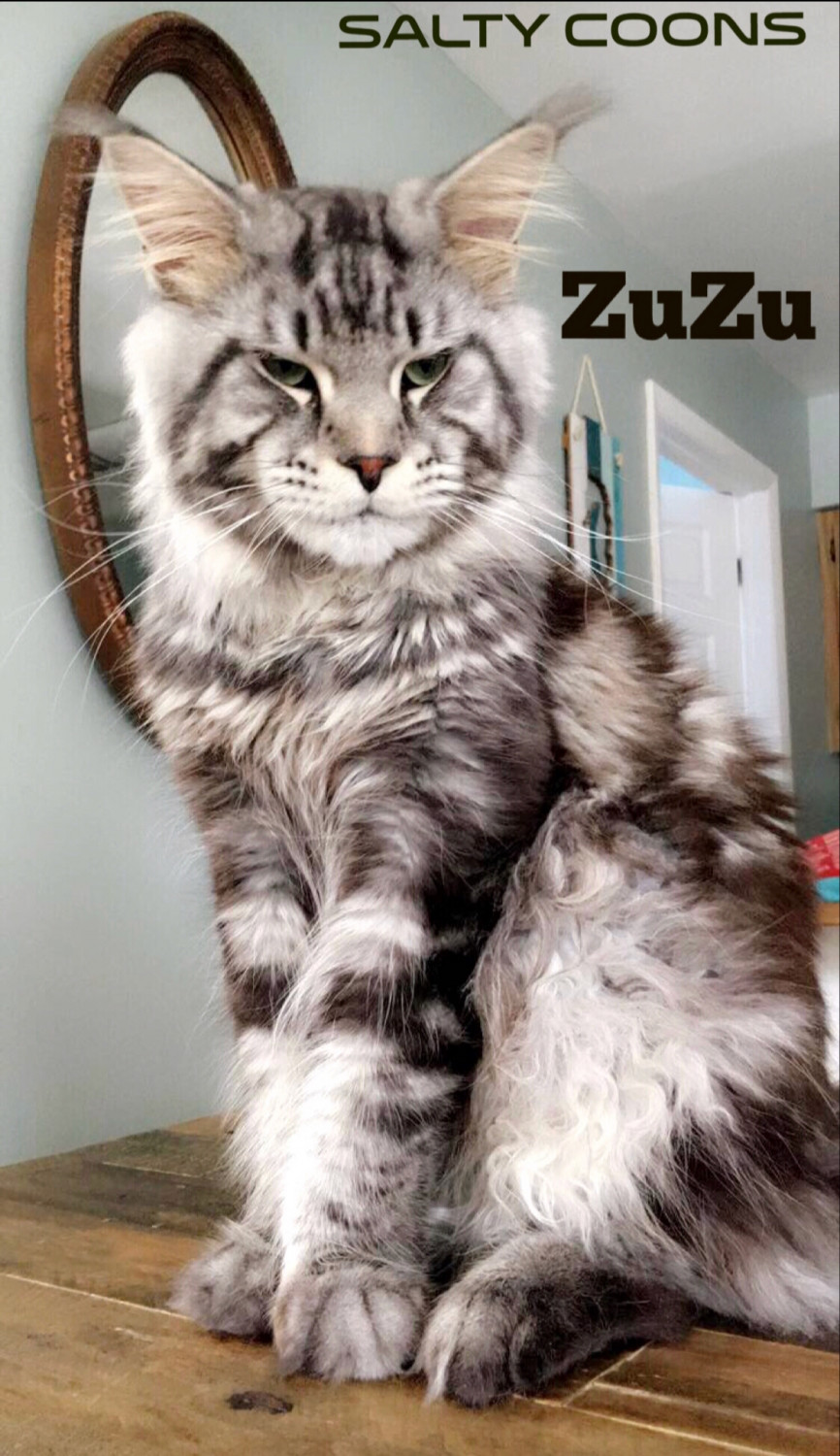 Maine Coon Cats For Sale | Tampa, FL #276833 | Petzlover