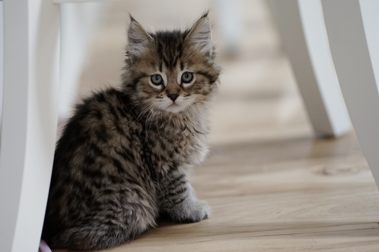 Maine Coon Cats For Sale | Mount Vernon, WA #282467