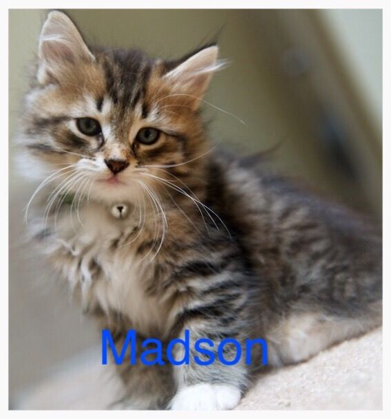 Maine Coon Kittens For Sale Seattle Maine Coon Cats For Sa...