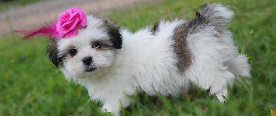 Mal Shi Puppies For Sale Colorado Springs Co 123496