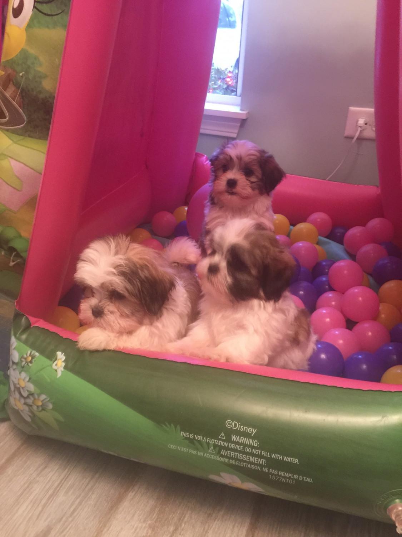 Mal Shi Puppies For Sale Montgomery Il 285021