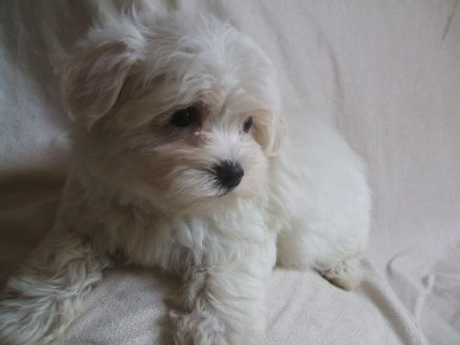 Maltese Puppies For Sale Billings Mt 96580 Petzlover
