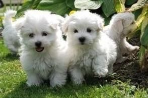 Maltese Puppies For Sale Tallahassee Fl 114336