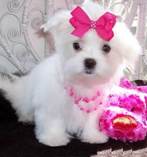 Maltese Puppies For Sale Davenport Ia 128868 Petzlover