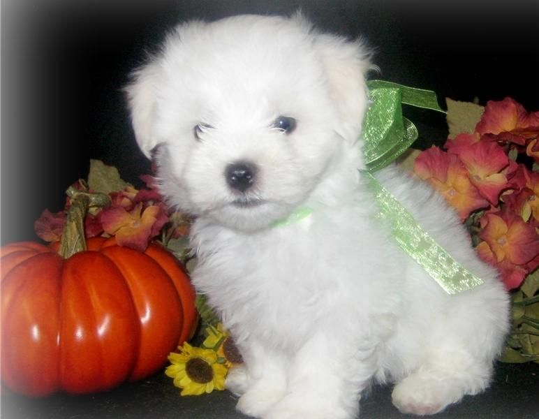 puppies for sale in odessa tx maltese puppies for sale odessa tx 129604 petzlover 1217