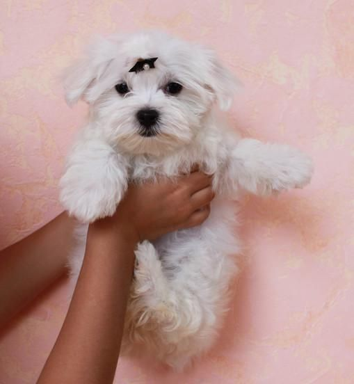 Maltese Puppies For Sale Des Moines Ia 137017