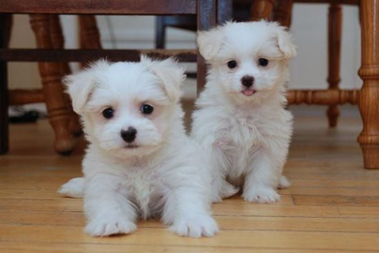 Maltese Puppies For Sale | Missoula, MT #152627 | Petzlover
