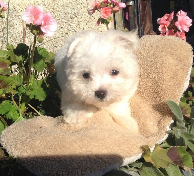 Maltese Puppies For Sale Texas City Tx 171902