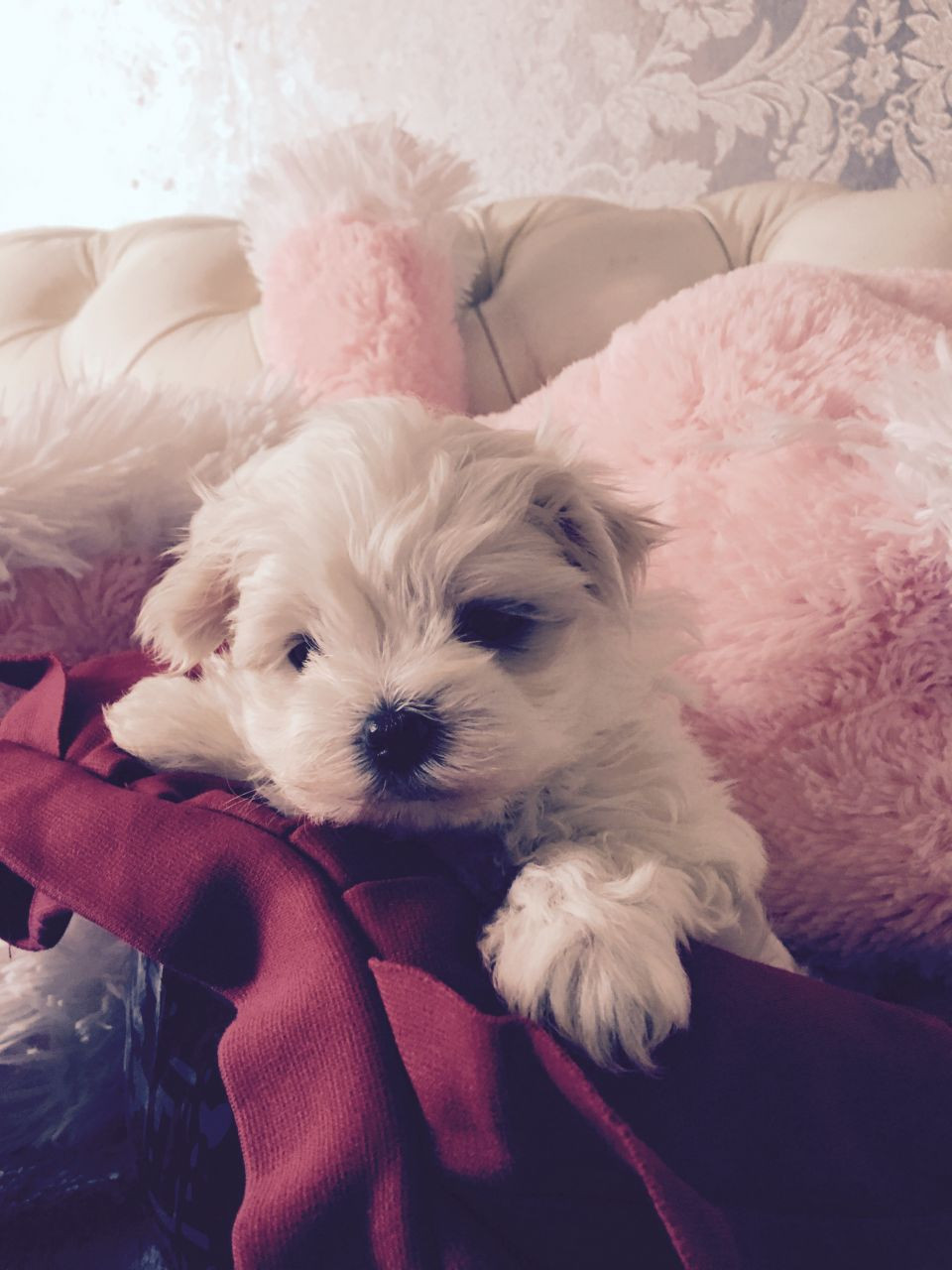 Maltese Puppies For Sale Texas City Tx 186791