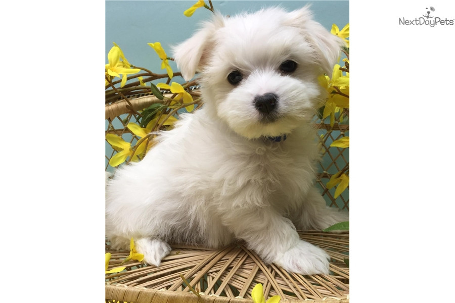 maltese puppy for sale in illinois maltese puppies for sale illinois 59 il 190297 4928