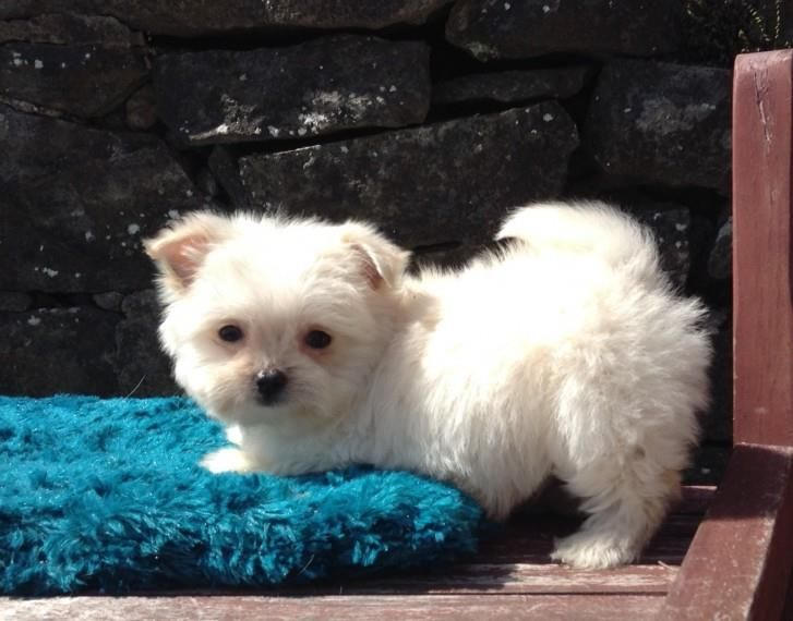 maltese puppy for sale in ny maltese puppies for sale new york ny 191669 petzlover 7441