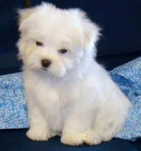maltese puppy for sale in ny maltese puppies for sale new york ny 191777 petzlover 667